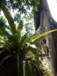 roots-of-ceiba-tree
